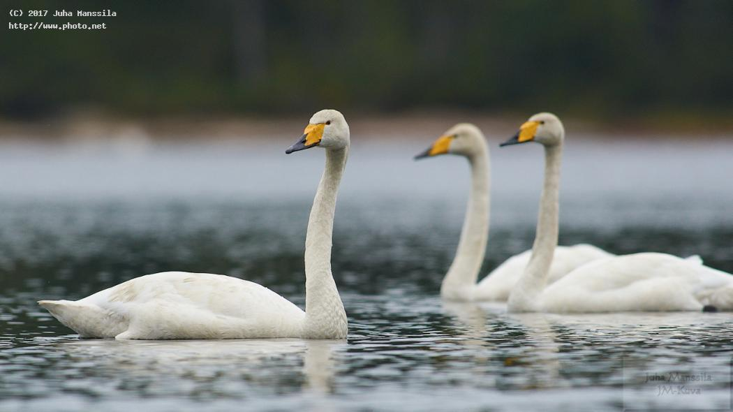 whooper swan nature birds bird wild wildlife cygnus manssila juha