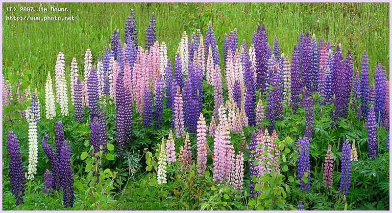 wild canadian lupine seeking critique downs jim
