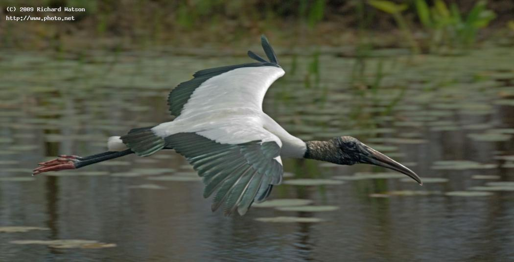wood stork birds seeking critique watson richard