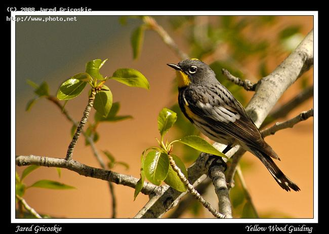 yellow rumped warbler rocky mountain national par gricoskie jared