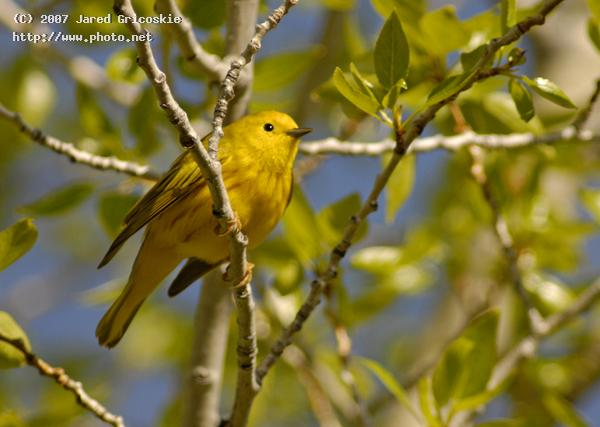 yellow warbler gricoskie jared