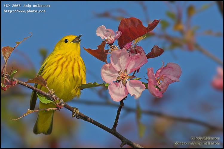 yellow warbler in apple tree canon eos d mark ii n ef mm fl usm tre melanson jody