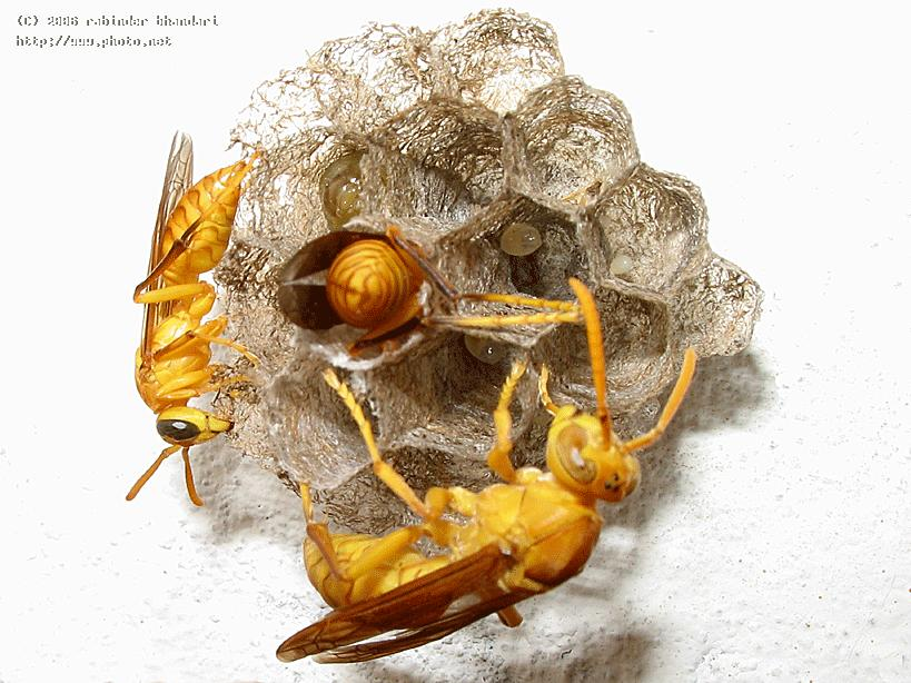 yellow wasp queen with new born and one worker wa seeking critique bhandari rabinder