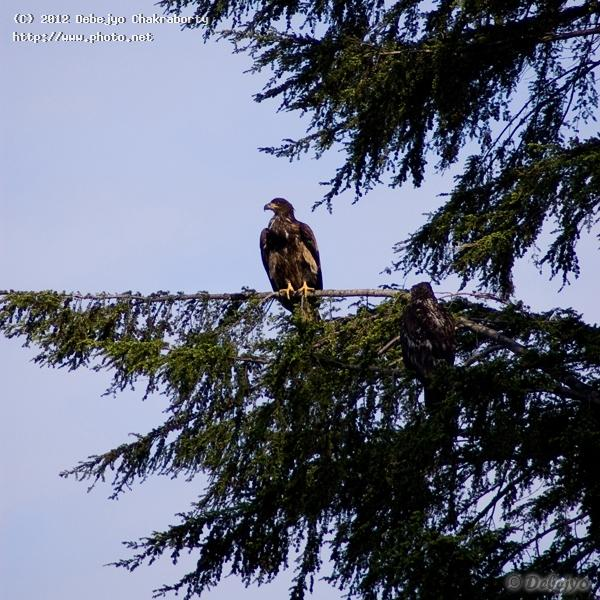 young bald eagle chakraborty debejyo